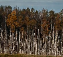 Birches (Autumn 2010) by Antanas