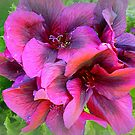 Pelargonium - Purple shade by EdsMum