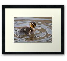Little Mallard Duckling Framed Print