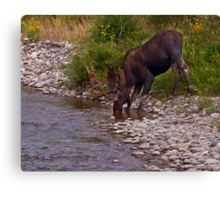 Thirsty Moose Canvas Print