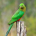 wild male king parrot by shatterkite