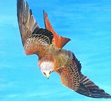 Red Kite Diving Flight by Jorja