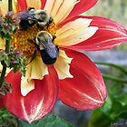 Bees drunk on dahlia pollen # 7 by Layla Morgan Wilde