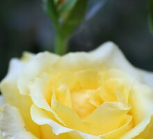 Yellow Rose With Terry Twist by Terry Aldhizer