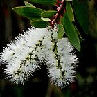White Bottle Brush Bloom by Rosalie Scanlon