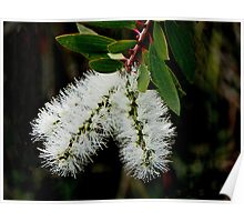 White Bottle Brush Bloom Poster