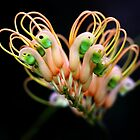 Grevillea dryandri  by andrachne