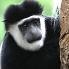 Colobus Monkey by Tizimagen