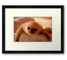 Baby sloth in a nursery of Costa Rica Framed Print