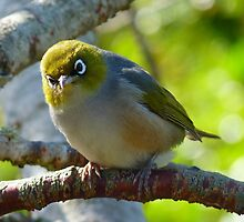 Excuse me, What was that? - Silvereye - NZ - Southland by AndreaEL