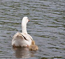 Mum and I: White Gosling and female goose by Ann Miller