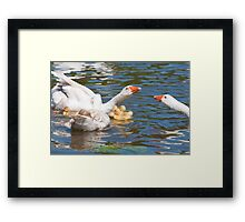 Protection: Adult geese protest young goslings Framed Print