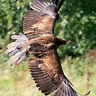Bald Eagle display of size by Ian Salter