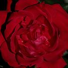 Red Rose by swaby