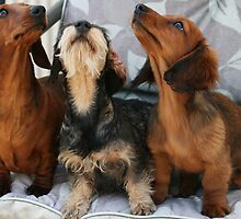 Three dachshund puppies playing by Joanne Emery