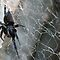 Australian black house spider on the web by Joanne Emery