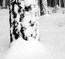 Scots Pine in the Snow, Dunwich Forest, Suffolk by shutternutter