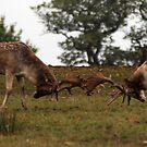 the fighting deer  by brett watson