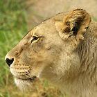 Lioness by Jon Staniland