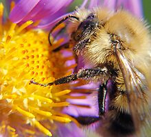 Bumble Bee 1 - Macro by Debbie Pinard