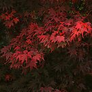 Acer by WatscapePhoto