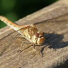 Dragon Fly on Somerset Levels by MendipBlue