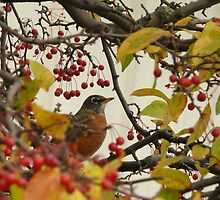 Robin During Fall Migration by mooselandtours