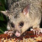 Baby Possum Pinching the Parrots Seed by aussiebushstick