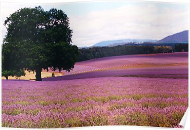 Lavender Farm by Michael John