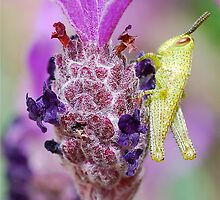 Mini Grasshopper on Lavender by Penny Smith