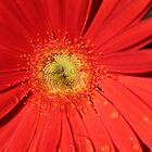 Daisy Dew Drops by DebbieCHayes