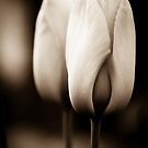 Tulips in Sepia by Annie Lemay  Photography