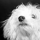 Maltese Pup by Susanne Correa