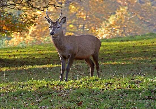 Young Stag - Red Deer by Trevor Kersley