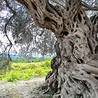 Thousand Year Old Olive Tree by Fay  Hughes