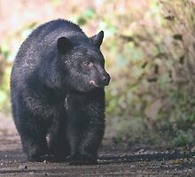 Young Adult Black Bear by David Friederich