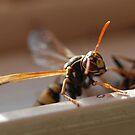 Oct Wasp 2 by Barbara Anderson