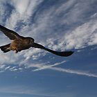 Buzzard in flight by Mark Bird