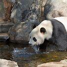 Giant Panda, Adelaide Zoo, South Australia  by Adrian Paul