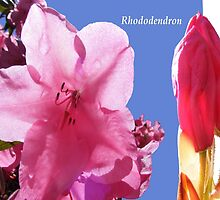 Pink Rhododendron by Esther's Art and Photography
