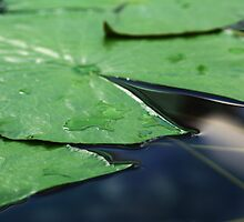 Close up of lily pad by Joanne Emery