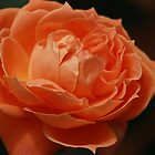 Orange Rose by Indrani Ghose
