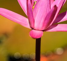 Tiny Frog Hiding in the Lily Flower, Mission  by Susan Kelly