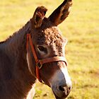Donkey, Mule or Jackass? by BCallahan