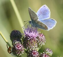 Common Blue by YorkshireMonkey