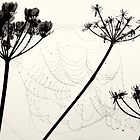 Cow Parsley and Web by Andrew Davoll