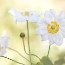 Anemonies by Mandy Disher