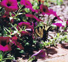 Tiger Swallowtail by markrt
