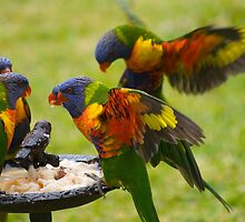 Rainbow lorikeets by Anna D'Accione