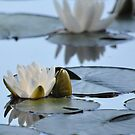 White Waterlily Blues by lilcanuk